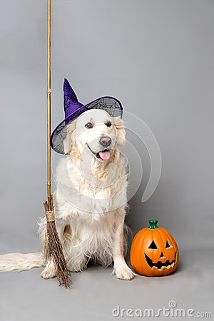 White golden retriever with a witch hat, broom, and jack o lantern against a grey seamless background