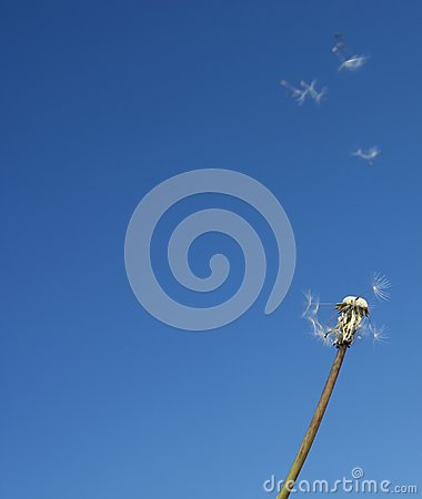 Flying beautiful dandelion seeds in the blue sky