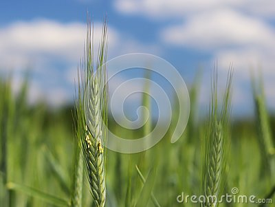 A young green and flowering stalk of wheat ripens on a wheat field against a blue sky. Blurred natural background. Agriculture. Ha