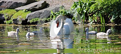 Unique swan with babies in a lake, high definition photo of this wonderful avian in south america.