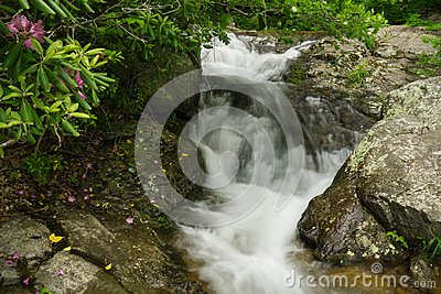 Catawba Rhododendron and Cascading Waterfalls on Fallingwater Creek