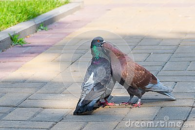 The spring is in the air and love is everywhere pigeons kissing and mating