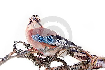 Common jay (Garrulus glandarius) - bird on white background