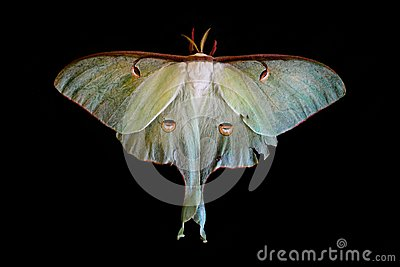 Actias Luna moth on black background