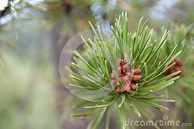 Evergreen Tree in Colorado