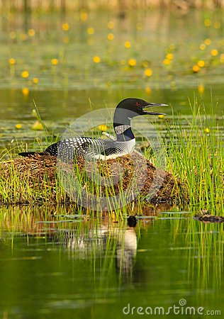 Common Loon Sits on Nest