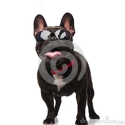 Cool french bulldog with sunglasses and bowtie looks up