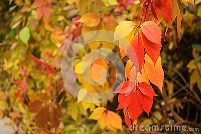 Autumn red and yellow Virginia creeper, Victoria creeper (Parthenocissus quinquefolia) on a background of yellow leaves. Fall flo