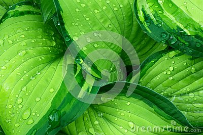 Fresh Green Hosta Plant Leaves after Rain with Water Drops. Botanical Foliage Nature Background. Wallpaper Poster Template
