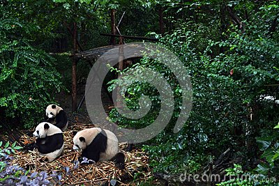 Panda bear: arguably the icon of Chengdu, or even Sichuan Province. Though considered as carnivore, it eats mostly bamboo (over 9