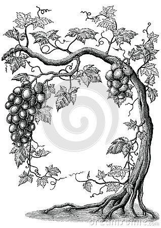 Grape tree hand drawing vintage engraving illustration on white