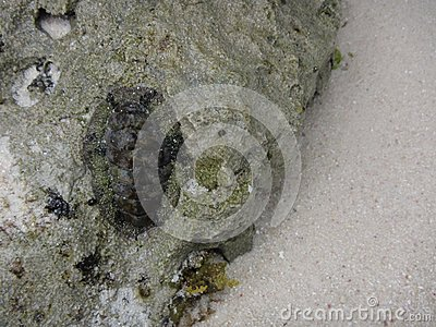 Marine invertebrate trilobite stuck to a rock surface