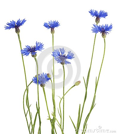 Blue Cornflower Herb or bachelor button flower bouquet isolated on white background