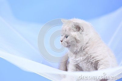 British Shorthair kittens on a white net, portrait