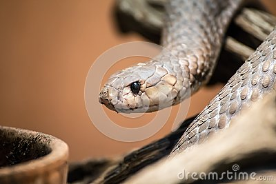 Taipan portrait, Oxyuranus, one of the most venomous and deadly snakes in the world
