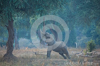 Elephant stretching to reach the seeds