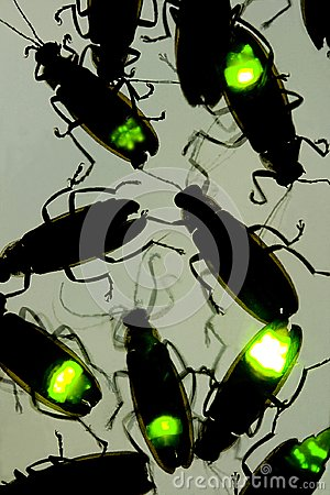 Fireflies Flashing at Night - This Beetle is also known as the Lightning Bug