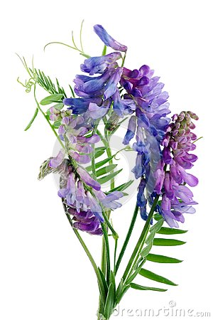 Bush vetch  Vicia sepium  wild meadow flowers from uncultivate