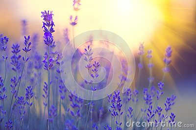 Lavender field, Blooming violet fragrant lavender flowers. Growing lavender swaying on wind over sunset sky