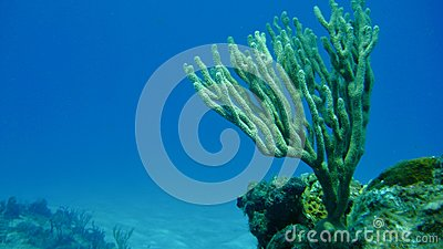 Branching Coral in the ocean