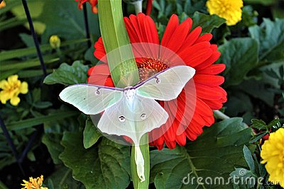 Actias luna, the Luna Moth