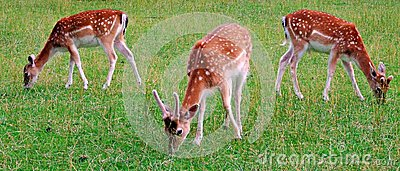 stock image of deer, animal, wildlife, mammal, fawn, grass, wild, nature, fallow, doe, young, brown, green, antlers, stag, baby, animals,