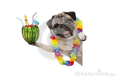 Frolic summer pug dog with hawaiian flower garland, holding watermelon cocktail with umbrella and straws