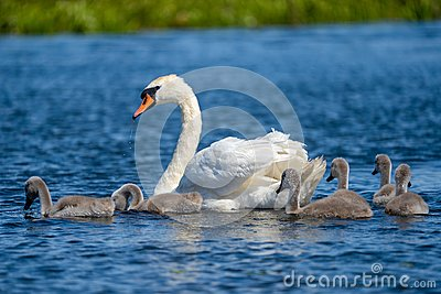 Danube Delta Swan and youngsters