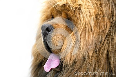 Red Chinese-bred Tibetan Mastiff dog portrait close-up on white background