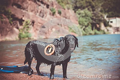 stock image of labrador dog pure breed in water training