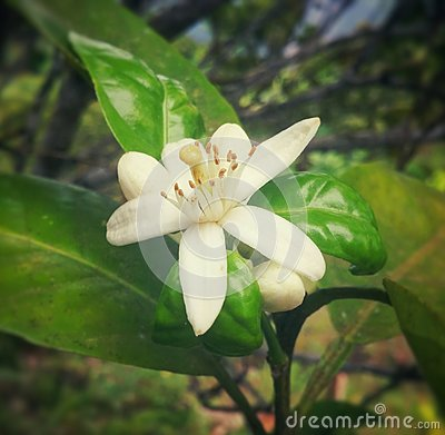 White coffee plant flower with long stamens and green leaves in Colombia