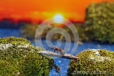 Red ant crosses the river on a log