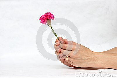 Two hands with deep pink flower with white background. The concept of give.