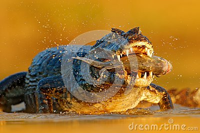 Yacare Caiman, crocodile with piranha fish in open muzzle with big teeth, Pantanal, Brazil. Detail portrait of danger reptile. Ani