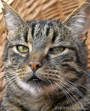 Close-up tabby cat