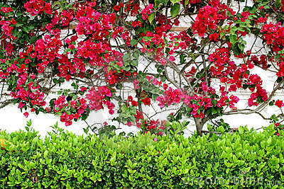White wall in Spain  with colorful red Bouganvillia creeping up and a green hedge below.