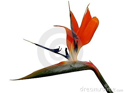 Bird of Paradise-design element