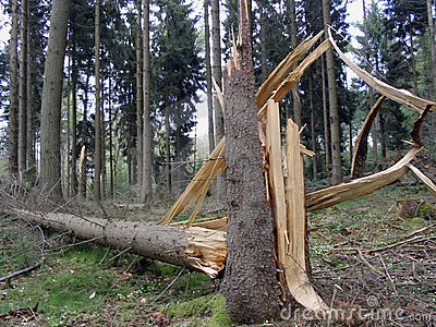 Destroyed tree