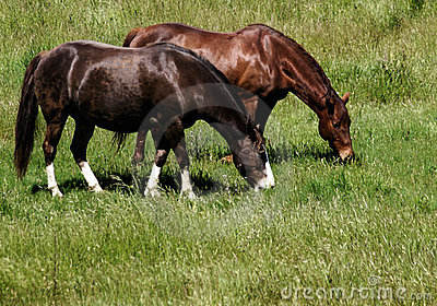 Pair of grazing horses