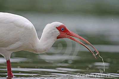 White ibis with water in beak