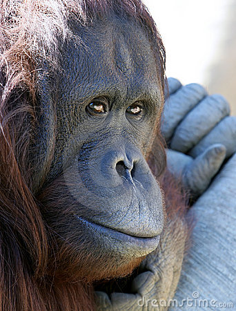 Orangutan or ape chilling in the sun looking unhappy