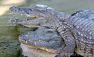 Alligators or crocodiles playing in the sun and water