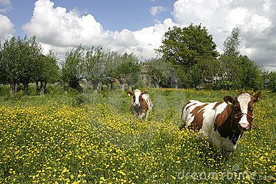 Cows in dutch landscape 6