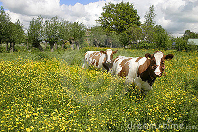 Cows in dutch landscape 5