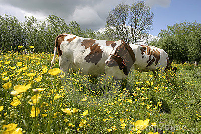 Cows in dutch landscape 2