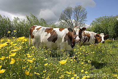 Cow in dutch landscape 1