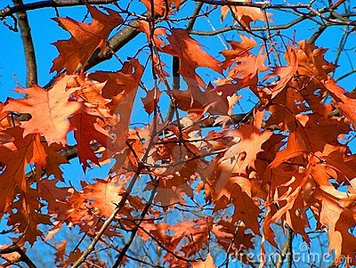 Brown Fall Leaves