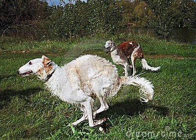 Russian wolfhounds running