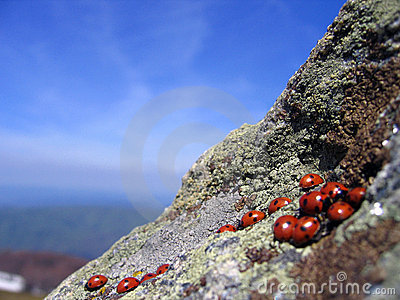 Ladybugs meeting on high cliffs