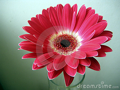 Red-White Gerbera Flower Close up on Green Background